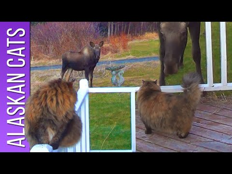Moose Tries to Kiss Cat | Alaskan Cats