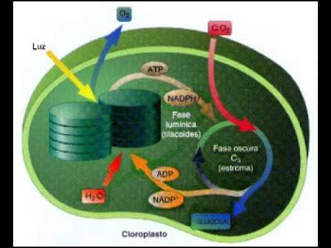 La fotosintesis fase luminosa y ciclo de calvin youtube - La casa de luminosa ...