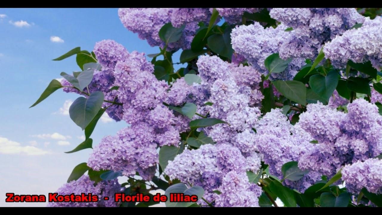 tratament pentru genunchi cu flori de liliac)
