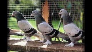 Gambar cover Oyun Kuşu Kostüm Şebap Güvercin KUŞ PAZARI