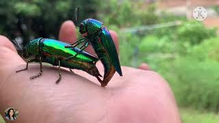 Ep110.แมลงทับ แมลงปีกแข็ง #แมลงทับผสมพันธ์