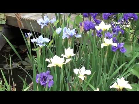 Неприхотливые садовые цветы  Ирис сибирский. Сайт Садвый мир
