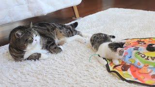 キャッチミーイフユーキャンに子守りを任せてのんびりするねこ。-Kitten Miri is crazy about toys, so Maru can relax.-