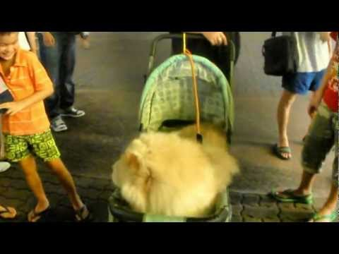 Chow Chow Dogs On Strollers Attracted Curious Passerbys At Ang Mo Kio Town Centre, Singapore