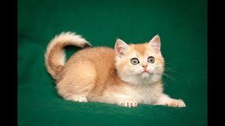 Кошка Xandra Sharm SunRay Часть 2 Британский котенок черного золотого затушеванного окраса BRI ny 11