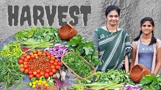 Harvest/ఇవాల్టి కూరగాయలు,వర్షానికి పాడైన చెర్రీ టమాటో మొక్కలు  #vegetablegardening #madgardener
