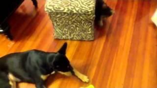 Yorkie & German Shepherd Mix Playing