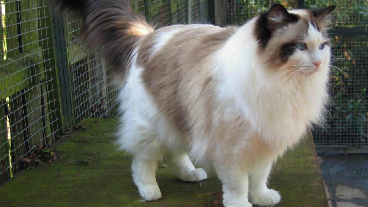 редголы кошки фото