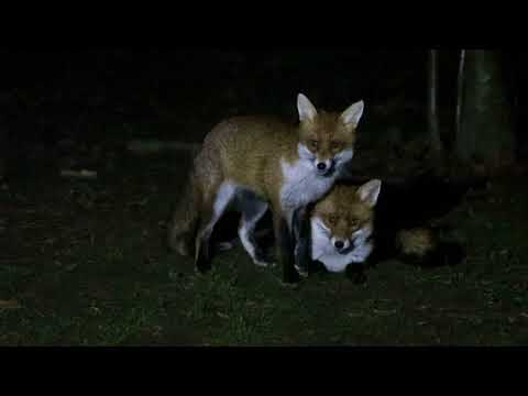 Foxes Greeting