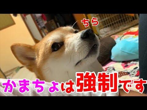 柴犬の度重なるチラ見をスルーしていると脇から無理くり顔出してきた shiba inu  is clinging to dad