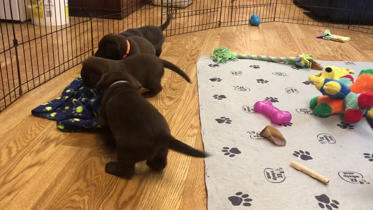 Simpson's Labrador Retrievers – Lab Breeder in Illinois