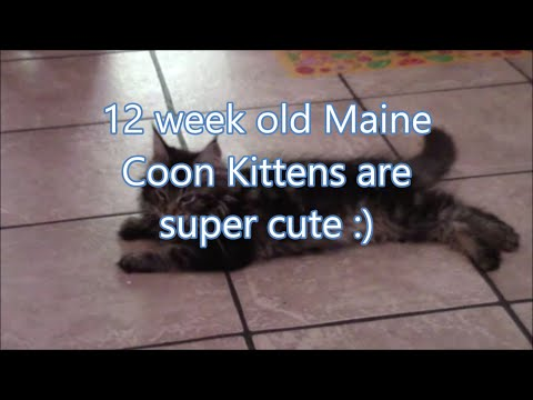 12 week old Maine Coon kittens are super cute..