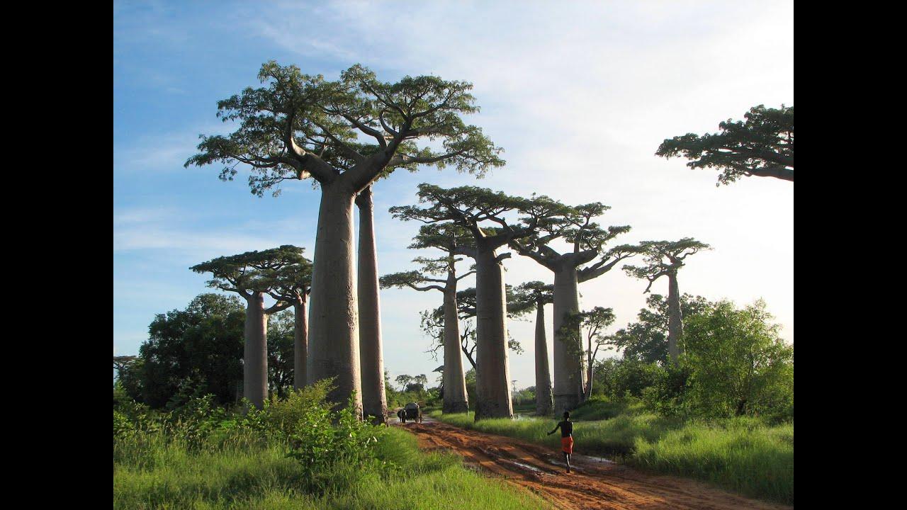 Image result for Pohon Raksasa Baobab