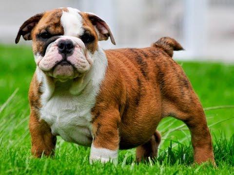 Mauiexpo's Skipper - English bulldog puppies for sale