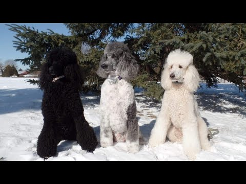 Snow Day with my Standard Poodles February 21, 2015
