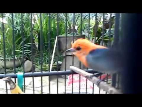 Burung Kemade Youtube