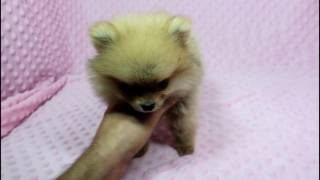 Tiny Diamond - Micro Teacup pomeranian Puppy in Puppy Heaven LA