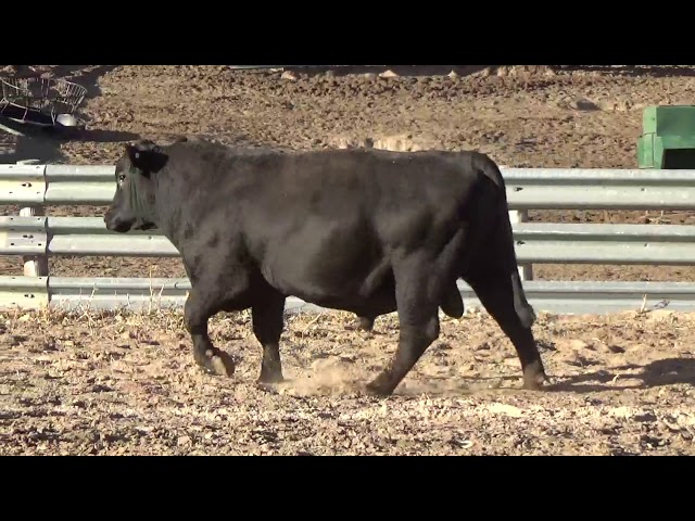 Connealy Angus Lot 234