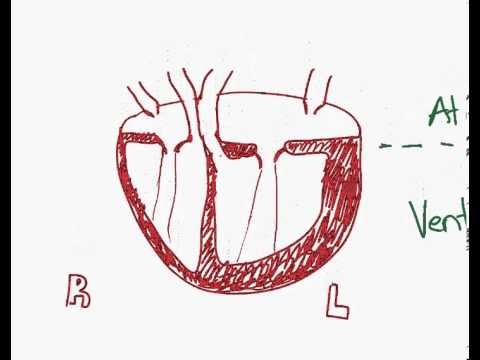 Drawing the human heart for ib biology youtube drawing the human heart for ib biology ccuart Image collections