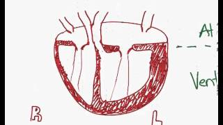 Drawing the human heart for IB Biology