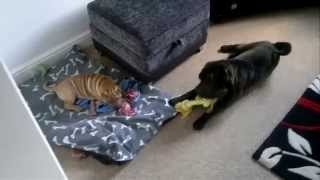 Shar Pei Tug Of War
