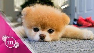 Trauer um Boo: Der süßeste Hund der Welt ist tot