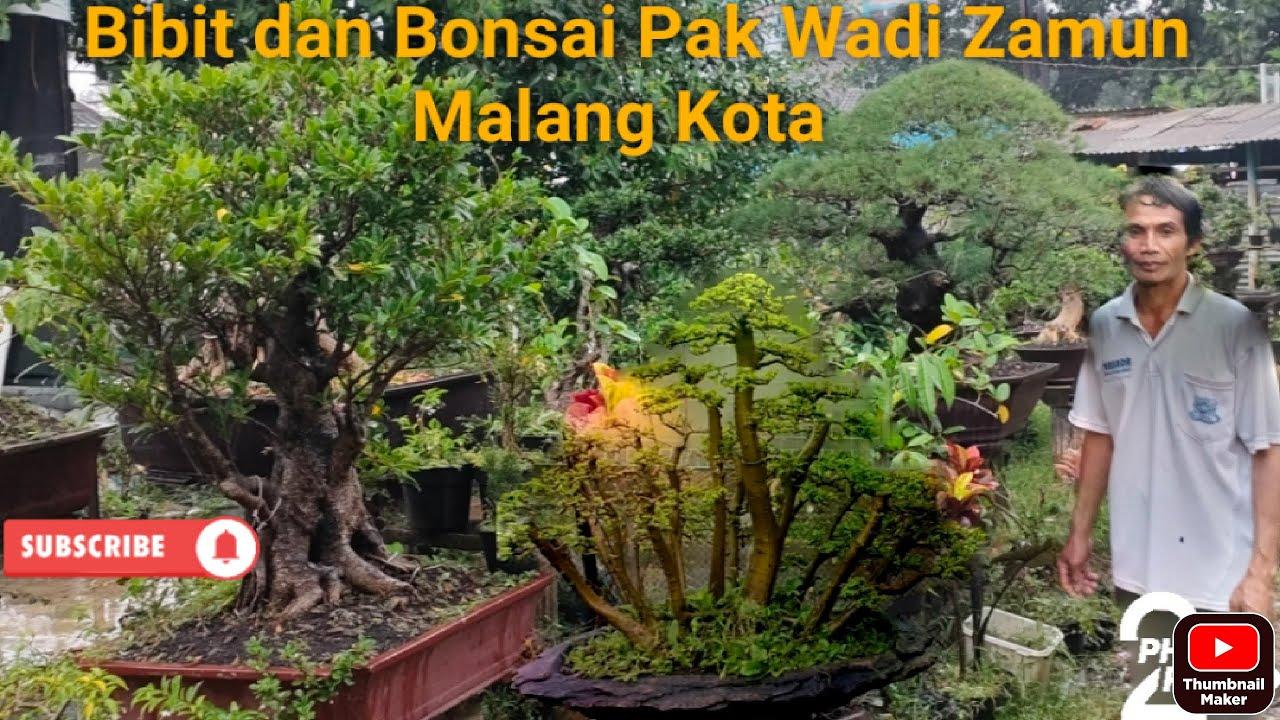 Download bibit dan Bonsai Pak Wadi Zamun