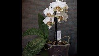 Мои новиночки: Phalaenopsis stuartiana и P.violacea v.indigo blue ×...