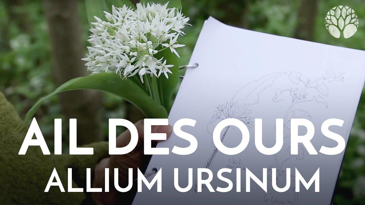 Ail des ours, allium ursinum, plante sauvage comestible et médicinale