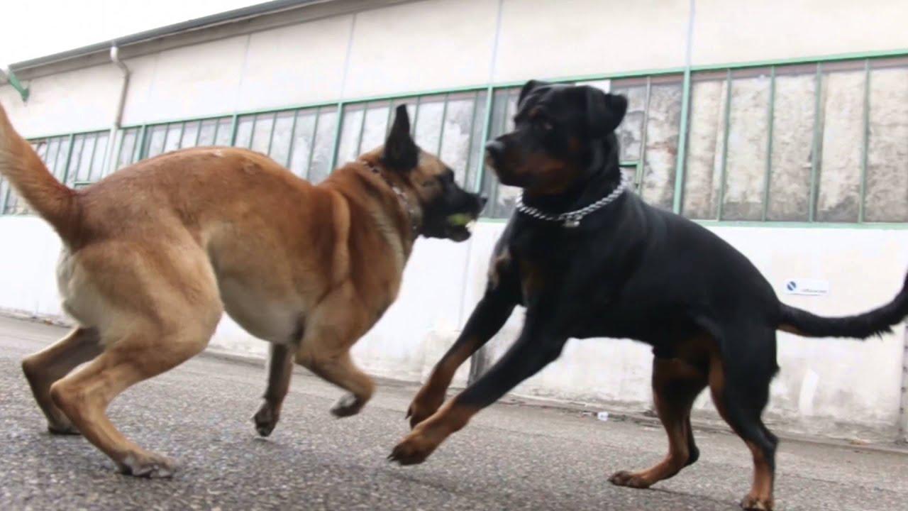 Rottweiler Vs Berger Belge Malinois | FunnyDog.TV
