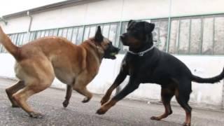 Rottweiler Vs Berger Belge Malinois thumbnail