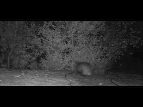 Dana McKenzie - Badger Chases a Fox Around Some Bushes, and It Looks Like a Cartoon Scene