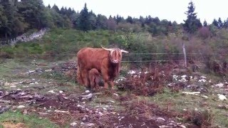 Bienvenue à Jorasse - Troupeau Highland Adapemont