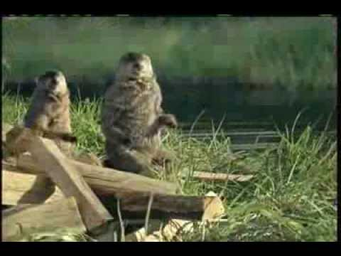 Woodchuck Chucking Wood Commercial