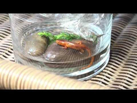 Вопрос: Как заботиться и кормить саламандр?