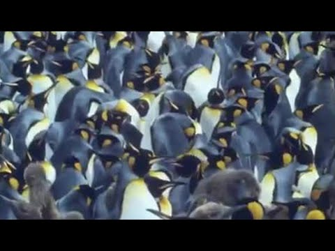 King penguins | Attenborough: Life in the Freezer | BBC