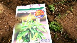 100円ショップ・ダイソーの種で家庭菜園☆彡ヨーキーりさのベジタブル・ガーデン