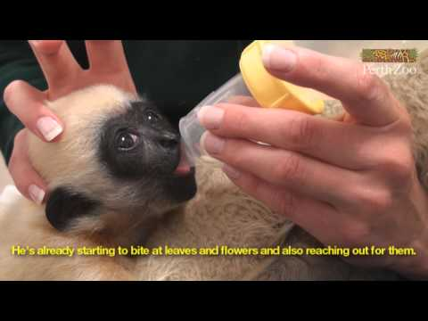 Hand-raising a Baby White-cheeked Gibbon at Perth Zoo