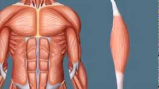 Видео о строении мышц человека(Анатомическое видео пособие по строению мышцы человека., 2013-11-08T11:44:15.000Z)