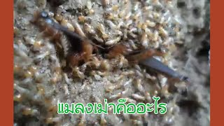 ซีเนียร์พารู้ - แมลงเม่า คืออะไร? กำจัดมันอย่างไร?