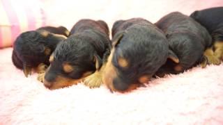 説明小型犬・中型犬・大型犬をたくさんのペットを取り扱うペットショッ...
