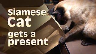 Siamese Cat gets a present