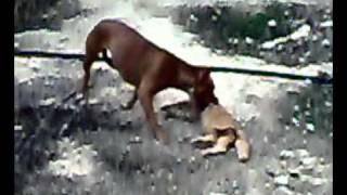 pitball killing a cat