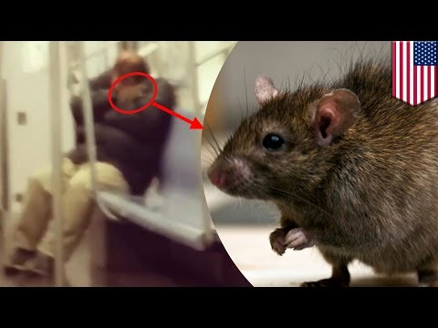 Subway rat: Huge rodent climbs onto sleeping man