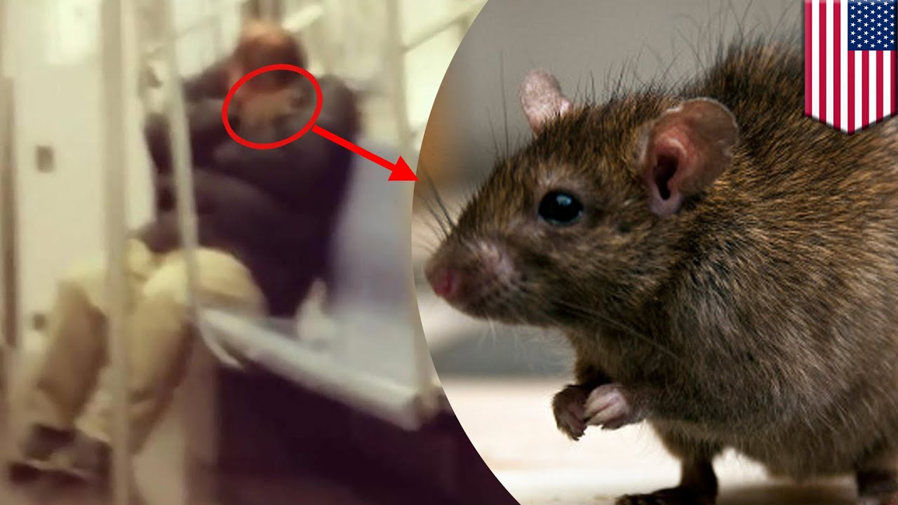 Subway rat: Huge rodent climbs onto sleeping man\'s neck in New York ...