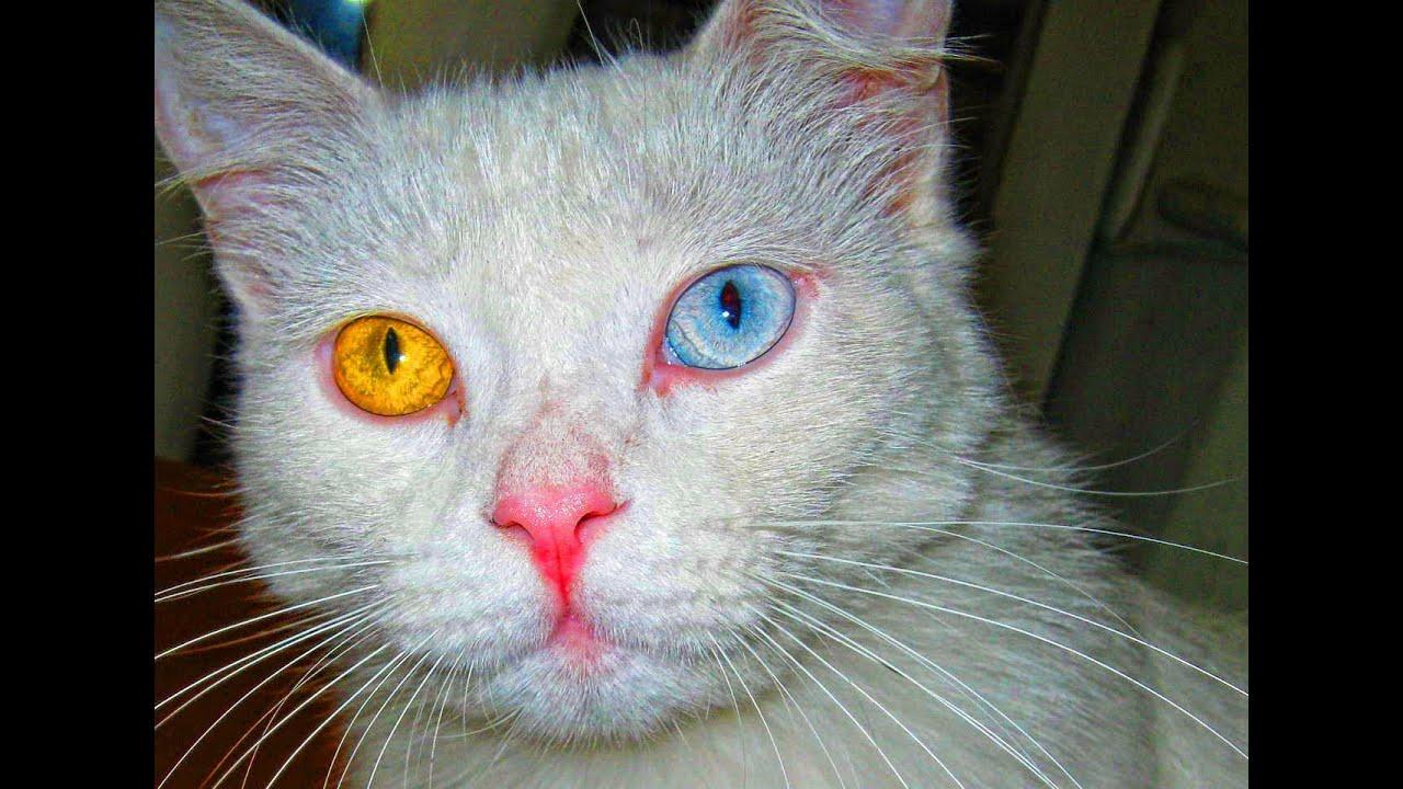 Heterocromia Ojo Dorado Y Azul Ojos Raros De Gato Heterochromia Eye Rare Gold And Blue Eyes