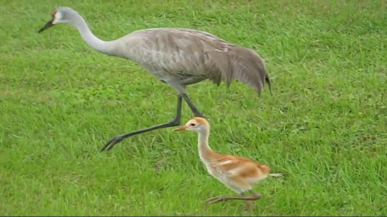 sweet baby crane bird