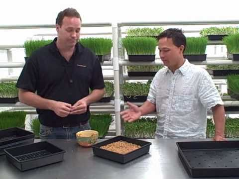 How to grow Wheatgrass and other Green Sprouts indoors - Got Sprouts?