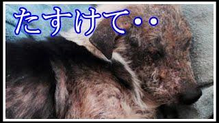 【酷い】「こんな汚い犬、もういらない・・・。」残酷な運命を突き付けられた犬に、まさかの奇跡が・・・。【応援したい話】