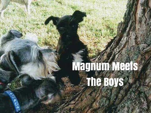 Magnum Meets The Boys | Schnauzer Puppy | Schnauzer Mom